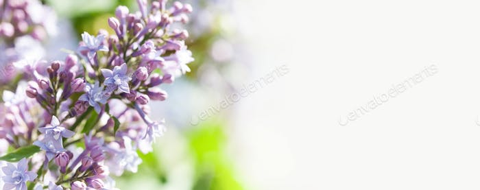 Spring nature poster template. Blossoming Syringa vulgaris lilacs bush.