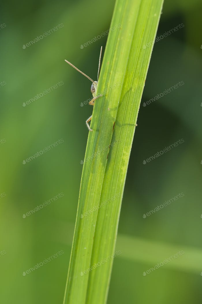 Grasshopper Hiding in Grass