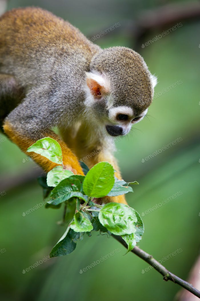 Close-up of a Common Squirrel Monkey (Saimiri sciureus; shallow