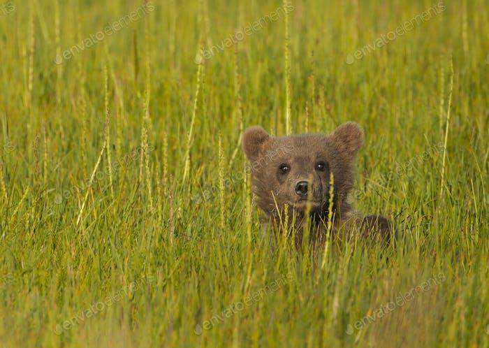 Brown bear cub, Lake Clark National Park, Alaska, USA