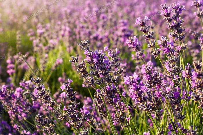 Beautiful violet lavender field close up background