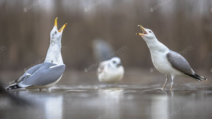 Two Yellow-legged gulls courtship display