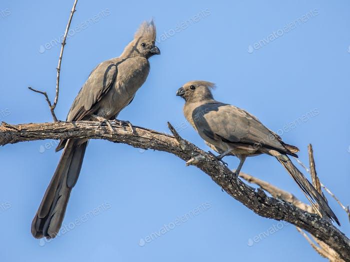Grey go away birds courtship