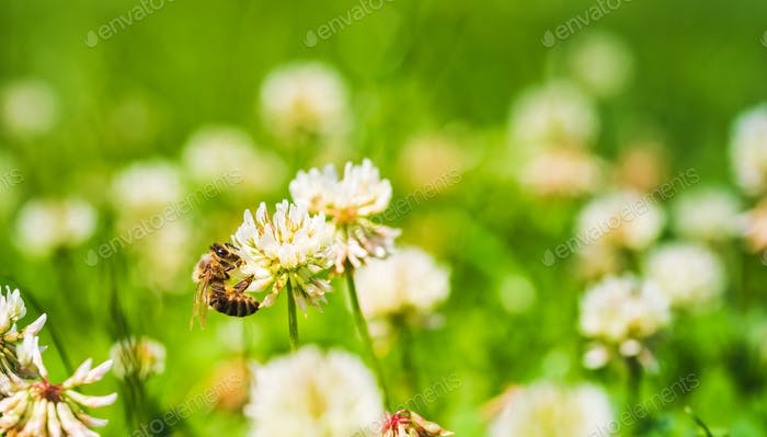 Close up of honey bee on the clover flower in the green field. Green background