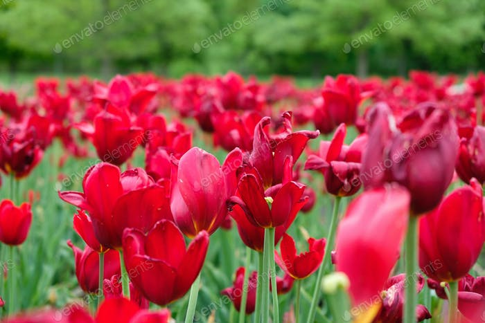 Group of red tulips in the park