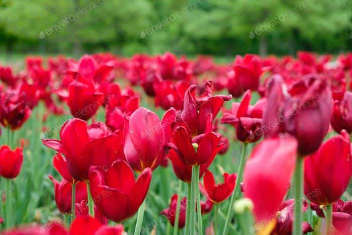 Gruppe von roten Tulpen im Park