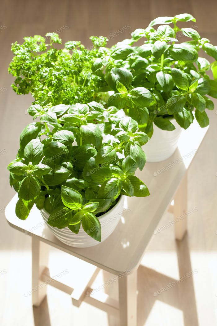 fresh basil and parsley herb in flowerpots