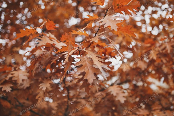 Orange autumn leaves on tree branches