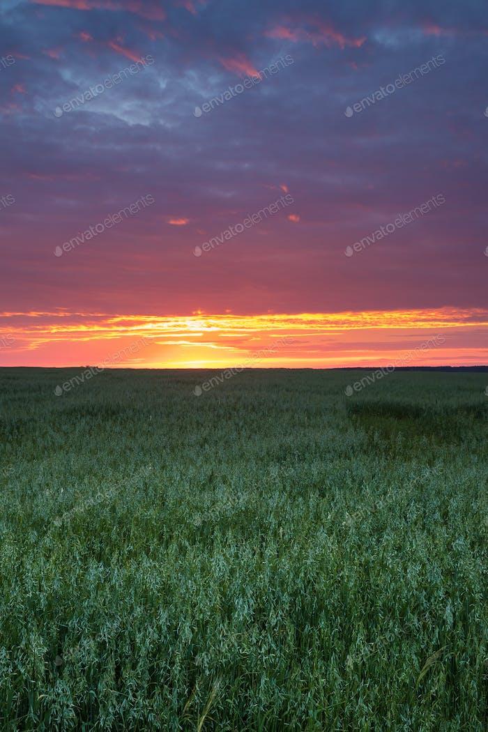 landschaft von grün junge weizen im frühling feld unter szenischen summ