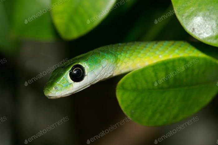 Eastern green snake