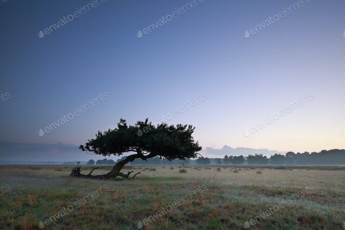 lone pine tree on meadow in dusk