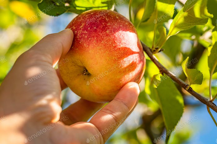 Mans hand delicately picking an fresh apple straight from tree
