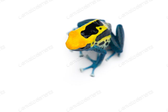 Patricia Dyeing Poison Dart Frog isolated on white background