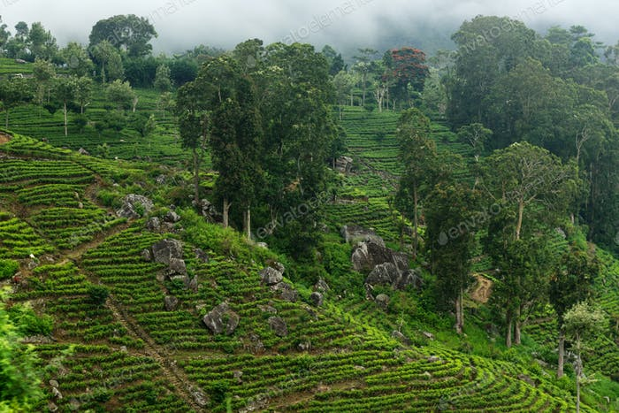 green tea plantations on the mountainside