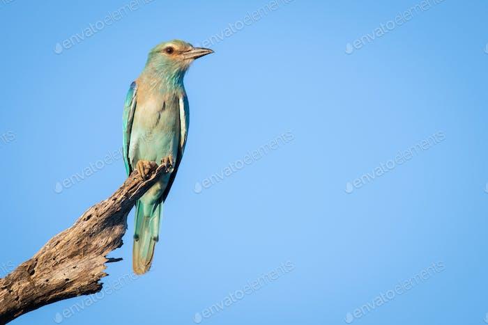 A European roller, Coracias garrulus, perches on a dead branch against blue sky background. Looking