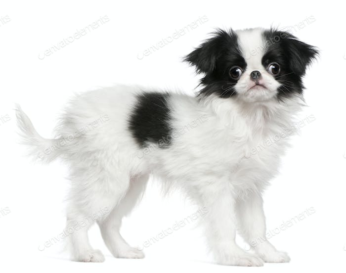 Japanese Chin puppy (3 months old)