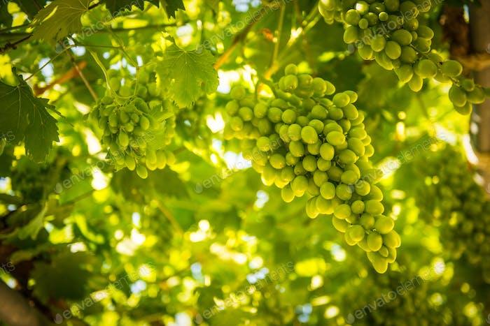 Trauben vor der Herbsternte