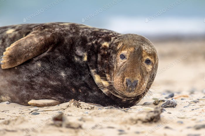 Portrait of Grey seal