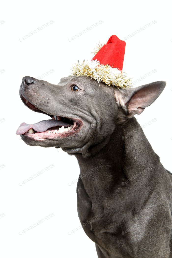 beautiful thai ridgeback dog in christmas hat