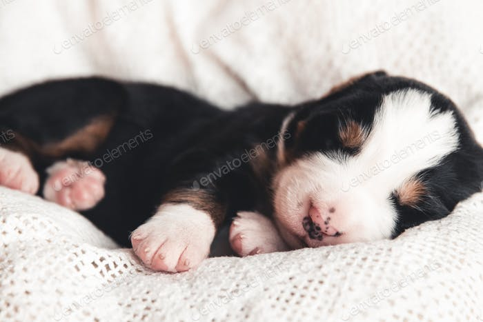Little puppy of Bernese Mountain Dog in bed. Cute animals