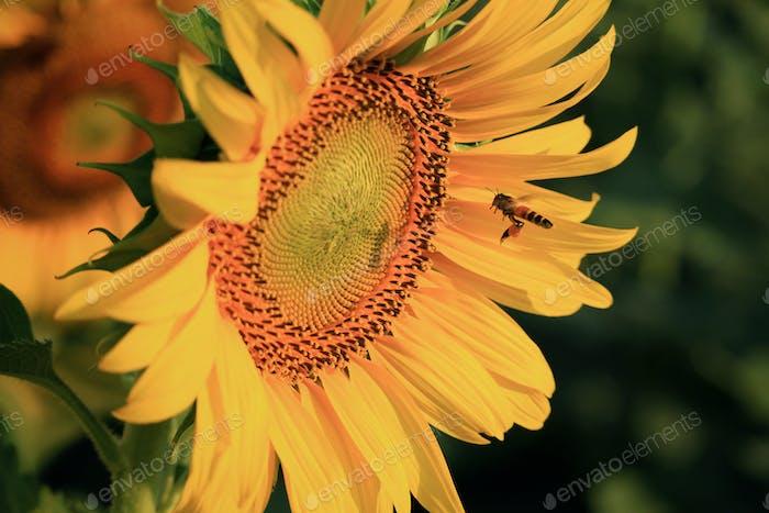 Gelbe Sonnenblume auf Pflanze