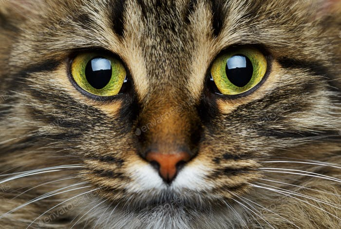 Cute muzzle tabby cat closeup