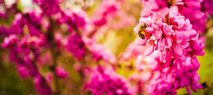 Honigbiene sammeln Pollen aus rosa Blüten. Wichtig für Umweltökologie Nachhaltigkeit