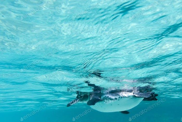 Galapagos penguin swimming underwater. Galagapos, Ecuador