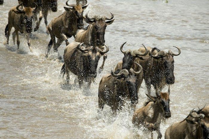 Gnus läuft im Fluss in der Serengeti, Tansania, Afrika