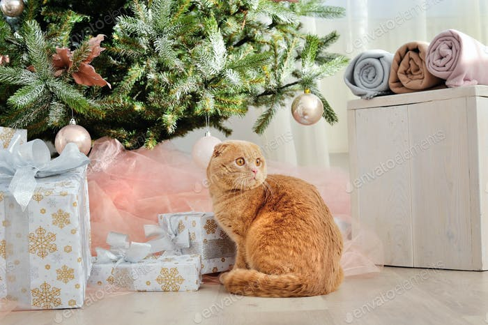 Domestic cat Scottish Fold close-up with gifts under the Christm