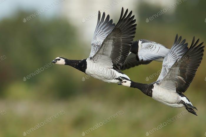 Barnacle geese (Branta leucopsis) in flight in their habitat in Denmark