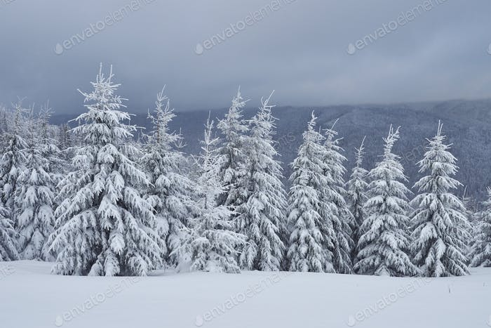 Scenic image of spruces tree. Frosty day, calm wintry scene. Location Carpathian, Ukraine Europe