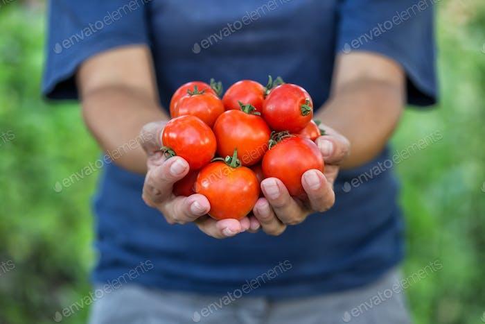 Ernte von reifen Tomaten in den Händen des Bauers