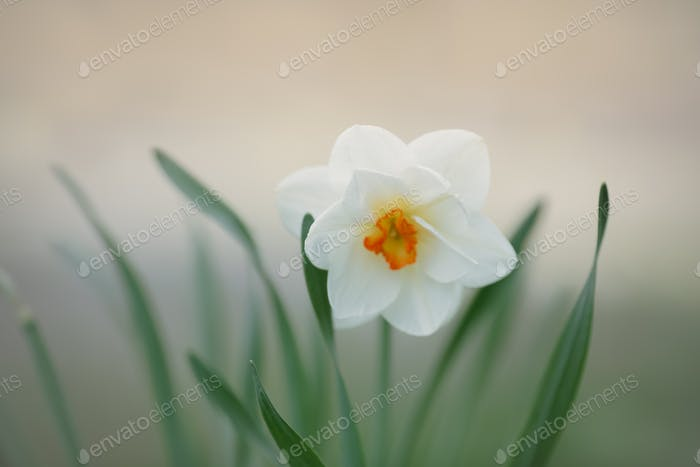 Narcissus flowers. Selective focus