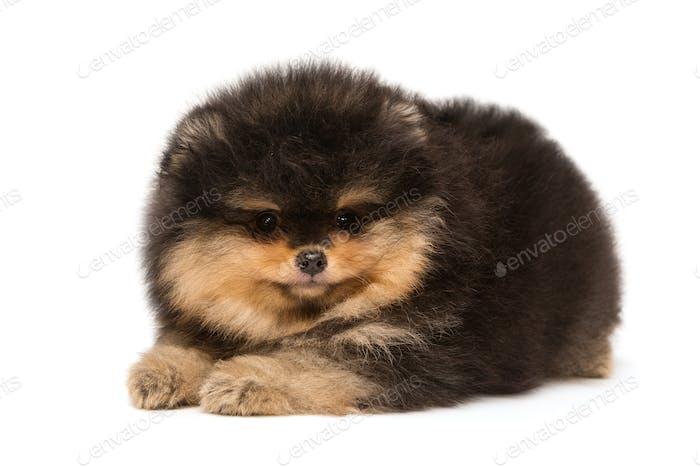 Small black Pomeranian puppy lies