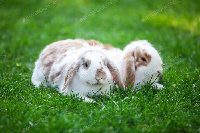 Two flap-eared pet rabbits on green grass