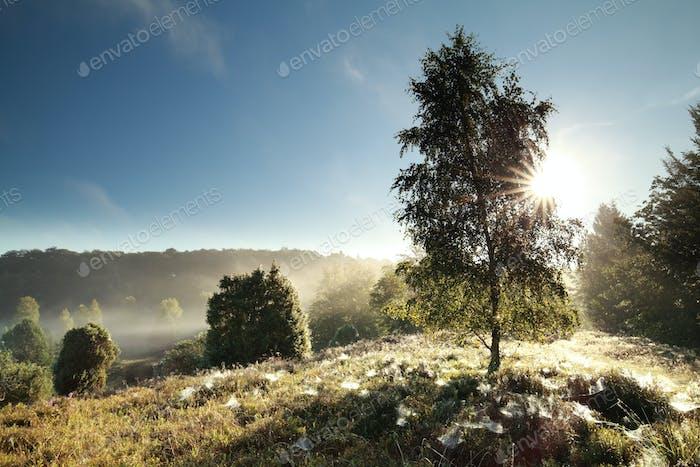 sunlight through birch tree