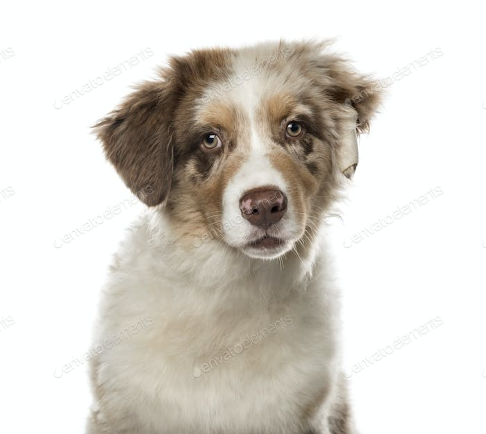 Close-up of a Australian Shepherd puppy, 4 months old , isolated on white