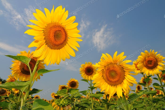 Summer yellow sunflowers with green leaves in field
