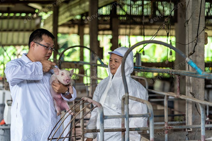 Asian veterinarian with assistant holding for checking and inject the baby pig in hog farms