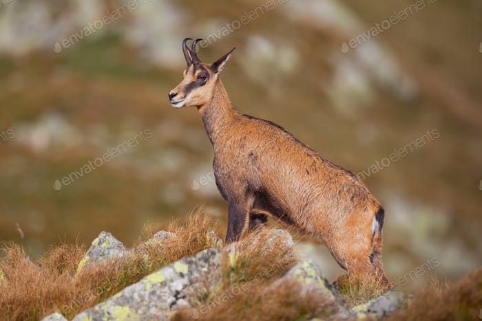 Chamois, rupicapra rupicapra, standing majestically on rocks in high mountains