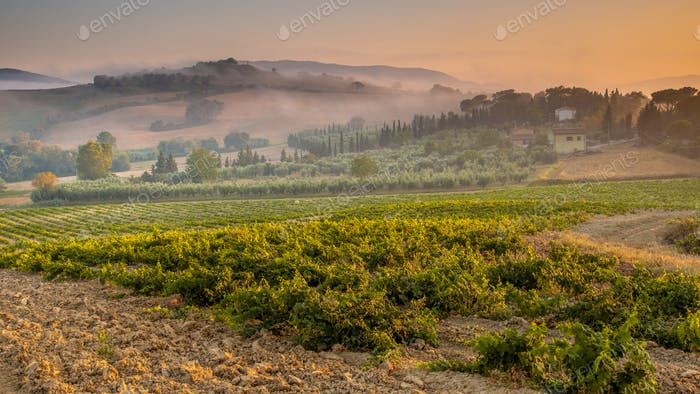 Young Chianti Vineyard in Tuscan Countryside, Italy