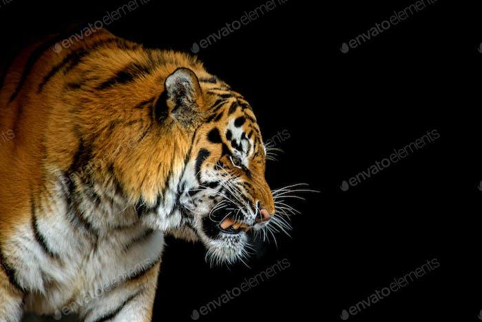 Nahaufnahme großer Tiger isoliert auf schwarzem Hintergrund
