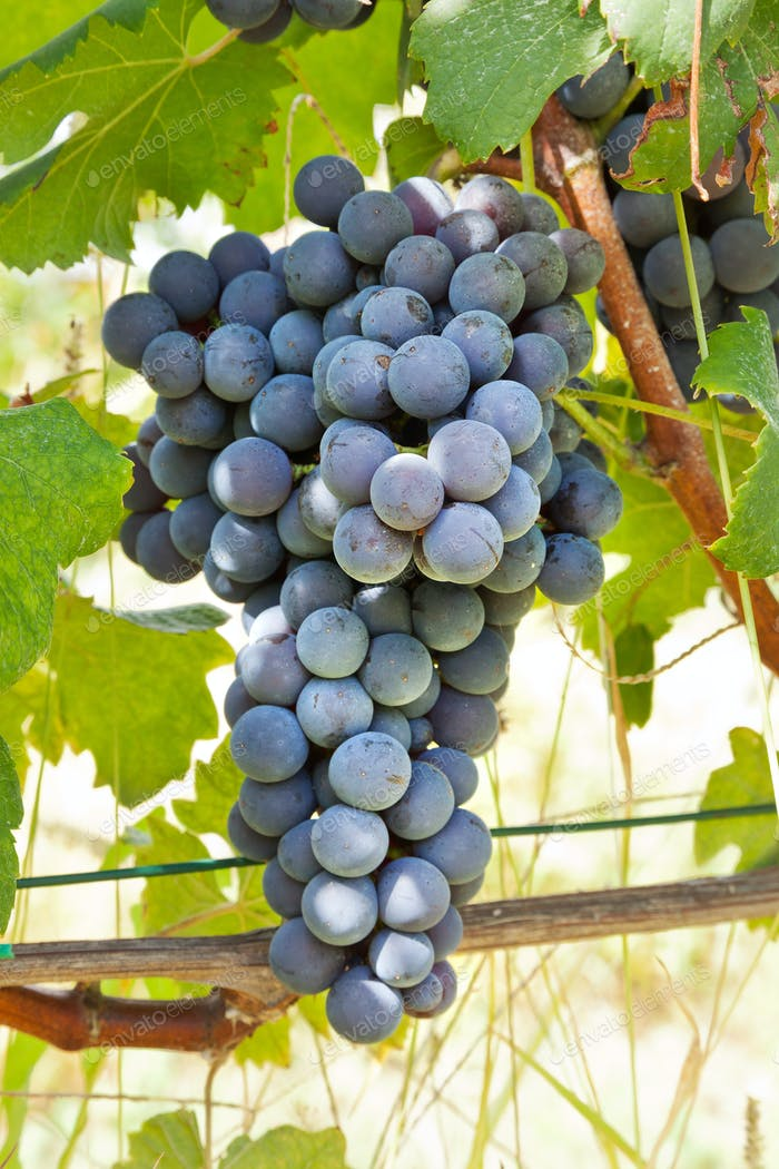 Red grape bunches, Nebbiolo variety, Italy.