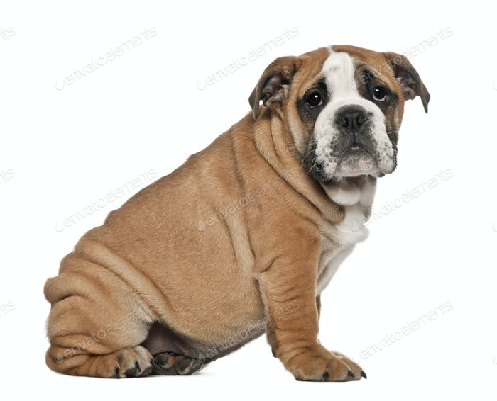 English Bulldog puppy, 2 and a half months old, sitting against white background