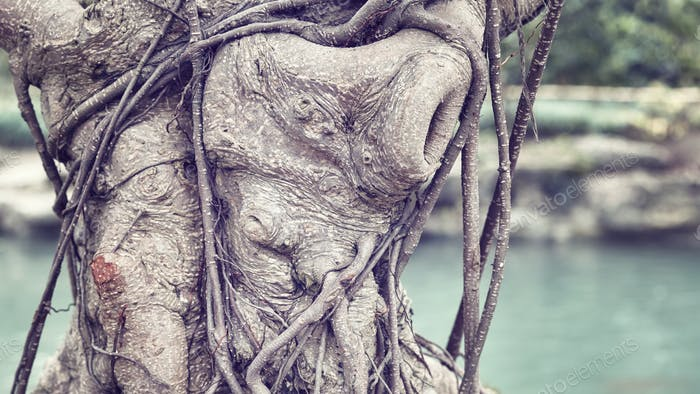 Close up picture of bonsai tree trunk.