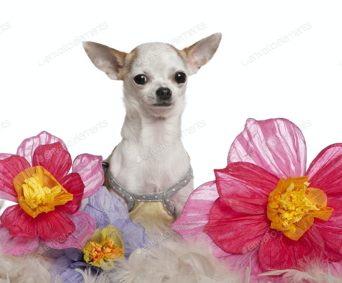 Chihuahua, 1 year old, sitting among flowers in front of white background