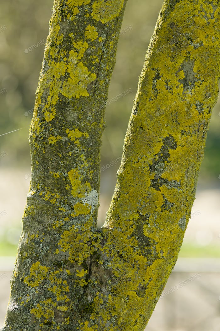 Tree barck with lichens