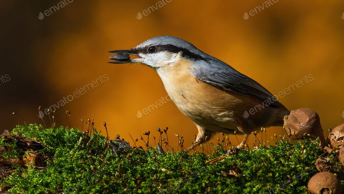 eurasian nuthatch standing on moss in autumn nature