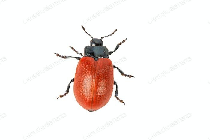 broad-shouldered leaf beetle Chrysomela populi on a white background